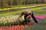 いつくしむようにチューリップの世話をする庭師